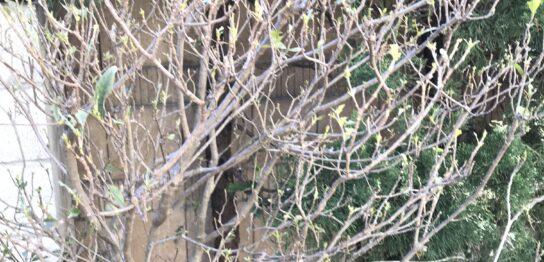 害虫に葉を食べられた庭木
