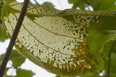 イラガの葉の食べ方