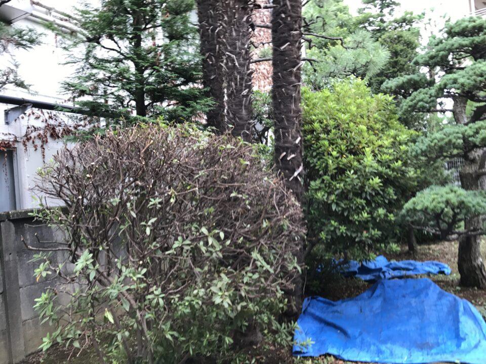 花を咲かせる為のオオムラサキツツジの刈込んだ後