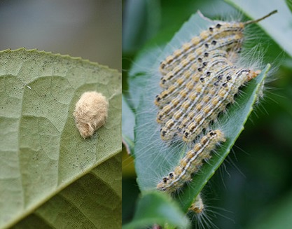 tea-tussock-moth-egg-and-crowd
