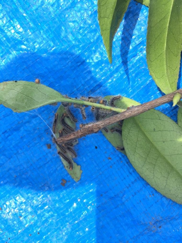 Tea-tussock-moth