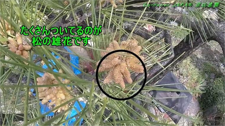 Pine-blossom2